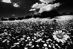 Black spring (Effe.Effe) Tags: flowers bw italy monochrome field hill bn blanket prairie fiori ultrawide marche senigallia 10mm fioritura sigma1020 distesa marcheshire
