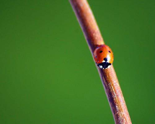 [フリー画像] 動物, 昆虫, てんとう虫・テントウムシ, 201004271100