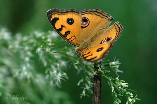 美眼蛺蝶 Peacock Pansy (junonia almana)