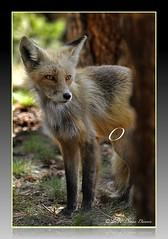 Mama Fox?? (Tundra