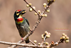 Barbet (Somak..) Tags: bird roy indian small coppersmith barbet coth supershot specanimal somak avianexcellence