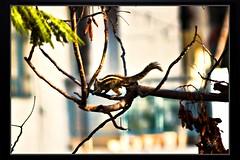 Birds_Animal (32) (My Pixel Magic) Tags: animal canon squirrel canon500d canonlens animalaction treeanimal animalinaction indiananimal indiansquirrel squirrelinaction animalofindia actionofanimal canondslr500d canonn55250mmlens squirrelofindia squirrelonthetree