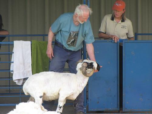 sheep sheering 2