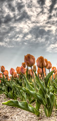 "Tulips in the ""sun"" (Sasja Milenkovic) Tags: flowers holland clouds spring tulips nederland natuur wolken stilleven drama lente hdr bloemen lightroom wwh tulp lisse bollenvelden 28105mm photomatix 3exp hdrpicture boerenleven canon50d flickraward5"