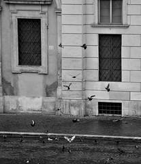 Palomas (Gonzalo 95) Tags: italy espaa naturaleza rome roma blancoynegro nature beautiful canon spain nikon flickr italia palomas piazzanavona nikon best photo fox megan d5000 gonzalod5000