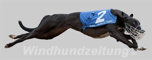 Quattro vom Monarchenhügel - Windhundzeitung.de