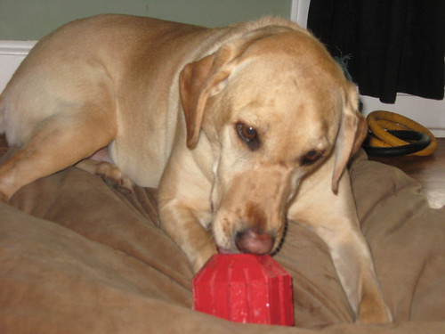 Lucy loves her Kong!
