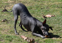 Nebulainen (revival74) Tags: dogs hairless peruvian