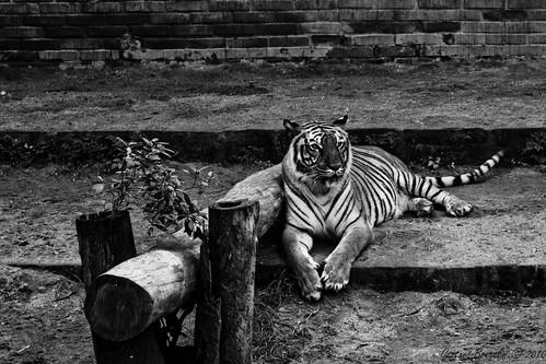 Tigre em P&B - Tiger in B&W