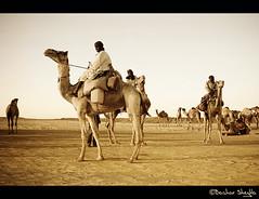Camels Merchants ! (Bashar Shglila) Tags: desert sudan camel caravan camels seller dongola       mygearandmepremium mygearandmebronze ashshamaliyah