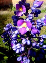 beauty in purple... (***Carmem***) Tags: flower brasil purple pelotas violeta marizasgarden