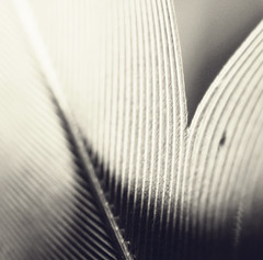 self similarity: feather (team sass) Tags: bw abstract macro lines shadows feather selfsimilarity