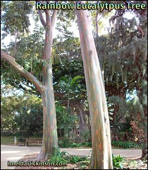 Rainbow Eucalytpus tree honolulu-hawaii-imelda-dickinson (2) (ImeldaDickinson.com) Tags: photos taken from around honolulu hawaii
