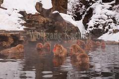 30090494 (wolfgangkaehler) Tags: winter japan asian mammal japanese monkey asia wildlife group hotspring nagano jigokudani snowmonkey japanesemacaque jigokudanijapan