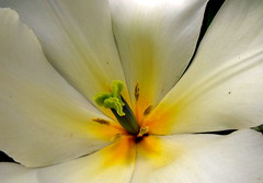 d tulip (dmixo6) Tags: flowers color macro nature garden trillium spring tulips dugg dmixo6