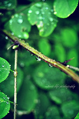 Raining...again. (rachel.plowman) Tags: green leaf waterdrops rainingagain