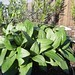 prunella grandiflora / grote brunel