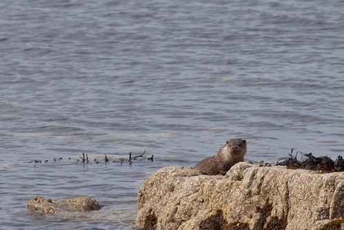 Gairloch otter