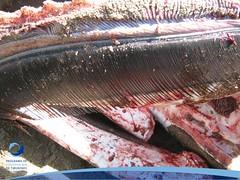 cmaximus13 (Tiburones Chile) Tags: chile peregrino diversidad biodiversidad especieamenazada tiburonperegrino sabiasquedescubre