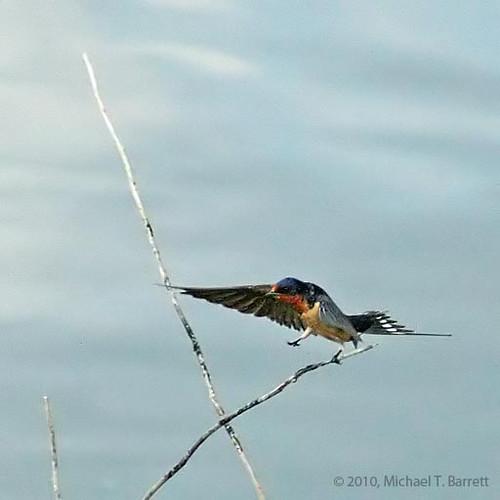 BarnSwallow1