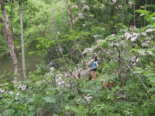 looking at the mountain laurels along the Northwest Branch
