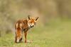 The old Fox (hvhe1) Tags: old holland nature netherlands animal bravo wildlife dunes naturereserve fox awd waterwingebied vos interestingness5 amsterdamsewaterleidingduinen specanimal hvhe1 hennievanheerden specanimalphotooftheday
