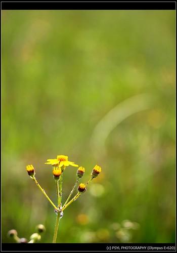 Balsam Ragwort (Packera paupercula)