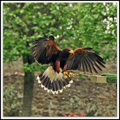 Coming in to land. (fastcat!) Tags: scotland may sutherland 2010 birdwatcher culkein harrishawk dunrobincastle digitalcameraclub naturewatcher