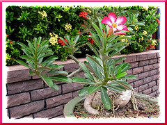 Adenium obesum (Desert Rose) at the Good Shepherd Catholic Seminary, Malacca