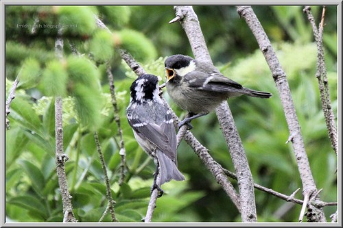 Coal Tit Feeding Fledgeling 2
