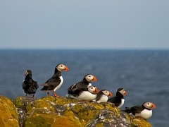 Puffins looking out (Photographic View Scotland) Tags: birds scotland fife wildlife puffins anstruther isleofmay naturesfinest eastneuk abigfave anawesomeshot avianexcellence flickrdiamond saariysqualitypictures