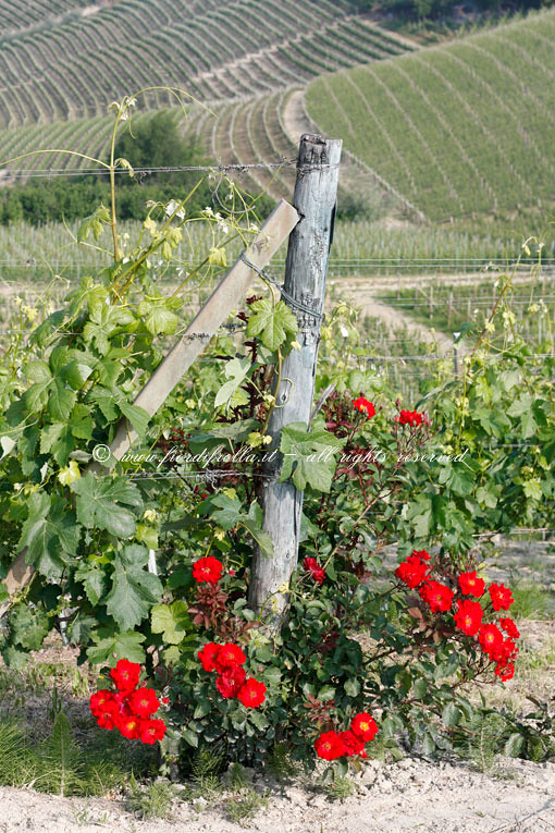 Rose e filari