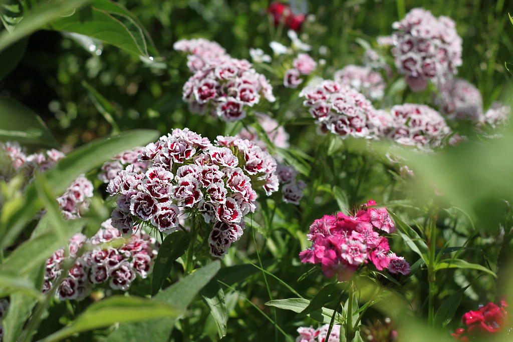 sweet william 322x