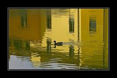 Riflessi sull'Arno (ViaggiAnt) Tags: reflections river duck fiume firenze arno toscana riflessi anatra sigma70300 canoneos7d