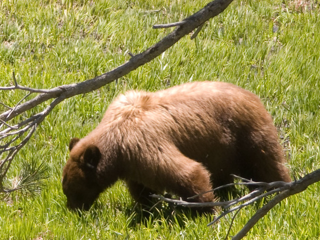 Bear at Crane Flat. Photo by Jeffrey Trust
