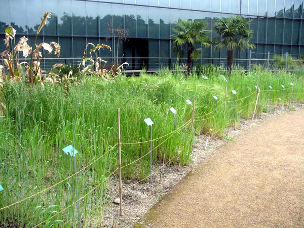 Céréales - Jardin botanique Henri Gaussen