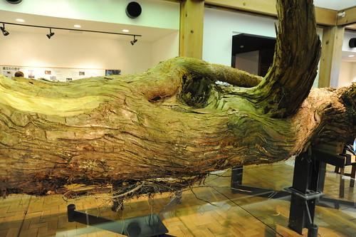 縄文杉の枝
