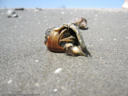 Hermit Crab - Grand Isle, Louisiana