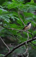 Where r u.............. (hema_) Tags: india green bird nature birds nikon creative hema beautifulbird lovelybird d5000 nikond5000 hemalathanarayanappa hemaphotography hemalathanarayanappahema gettyimagesindiaq4