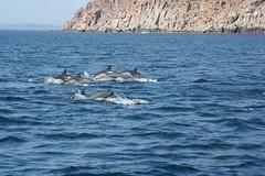 Dolphins near Isla Espiritu Santo