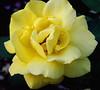 ...just yellow (bdaryle) Tags: flower nature rose yellow petals sony flor rosa brandondaryle bdaryle imagesbybrandon
