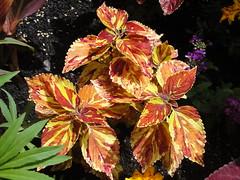 Coleus hybrid