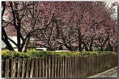 20100313_BloomingCherryTrees