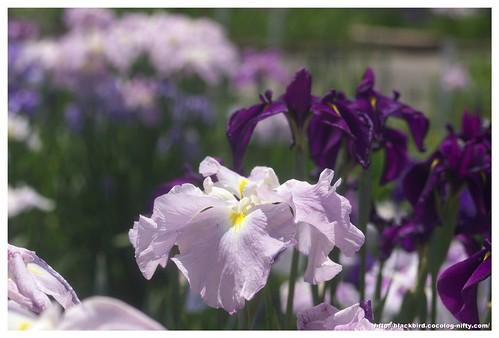 Jpapanese Iris 100609 #04