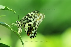 Butterfly (Shahriar Xplores...) Tags: macro green canon butterfly bug insect fly leaf wings image action dhaka sell bangladesh gettyimages aisa 550d 55250mm canon550d requesttolicense framebangladesh shahriarphotography