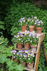Violas (keepinsidethelines) Tags: kitchengarden greyscourt violas
