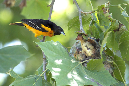 Baltimore Oriole at the nest