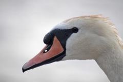 The swan (Anna Zucconi) Tags: bird swan schwan animale cigno palmipede