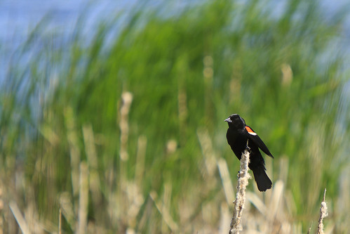 Redwinged Blackbird in the Wind - #2