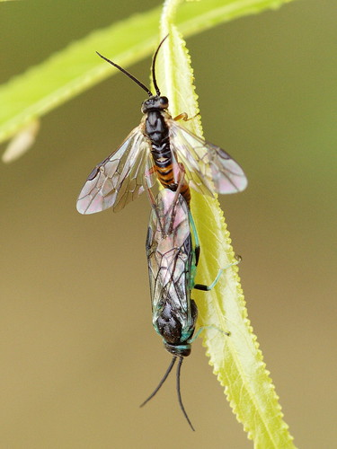 Sawflies mating on a willow sapling at the Boomsite Wayside near Stillwater, Minnesota.